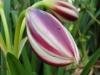 Blumenvielfalt_Uganda_3