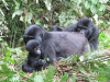 gorillatrekking_uganda7-png