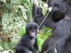 gorillatrekking_uganda6-png