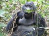 gorillatrekking_uganda3-png