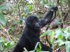 gorillatrekking_uganda2-png