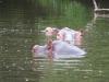 lake_mburo_hippo_uganda2-jpg