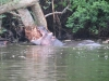 lake_mburo_hippo_uganda3-jpg