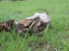 lake_mburo_warzenschwein_uganda-jpg