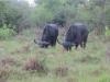 lake_mburo_wasserbueffel_uganda-jpg
