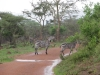 lake_mburo_zebra_uganda1-jpg