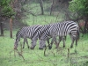 lake_mburo_zebra_uganda2-jpg