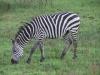 lake_mburo_zebra_uganda3-jpg
