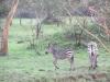lake_mburo_zebrababy_uganda-jpg