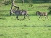 lake_mburo_zebrababy_uganda2-jpg