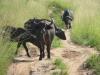 murchisonpark_bueffel_uganda-jpg