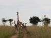 murchisonpark_giraffen_uganda1-jpg
