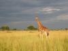 murchisonpark_giraffen_uganda2-jpg