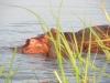 murchisonpark_hippo_uganda-jpg
