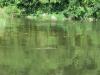 murchisonpark_krokodil_nil_uganda-jpg
