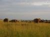 murchisonpark_lefanten_uganda1-jpg