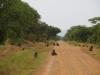 murchsionpark_paviane_uganda-jpg