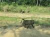 pavian_uganda2-jpg