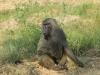 pavian_uganda1-jpg